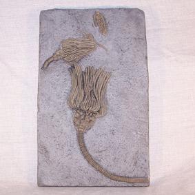 Actinocrinites, macrocrinus y Halysiocrinus