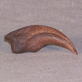 Albertosaurus sp.