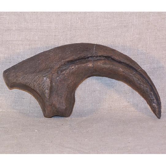 Allosaurus sp.