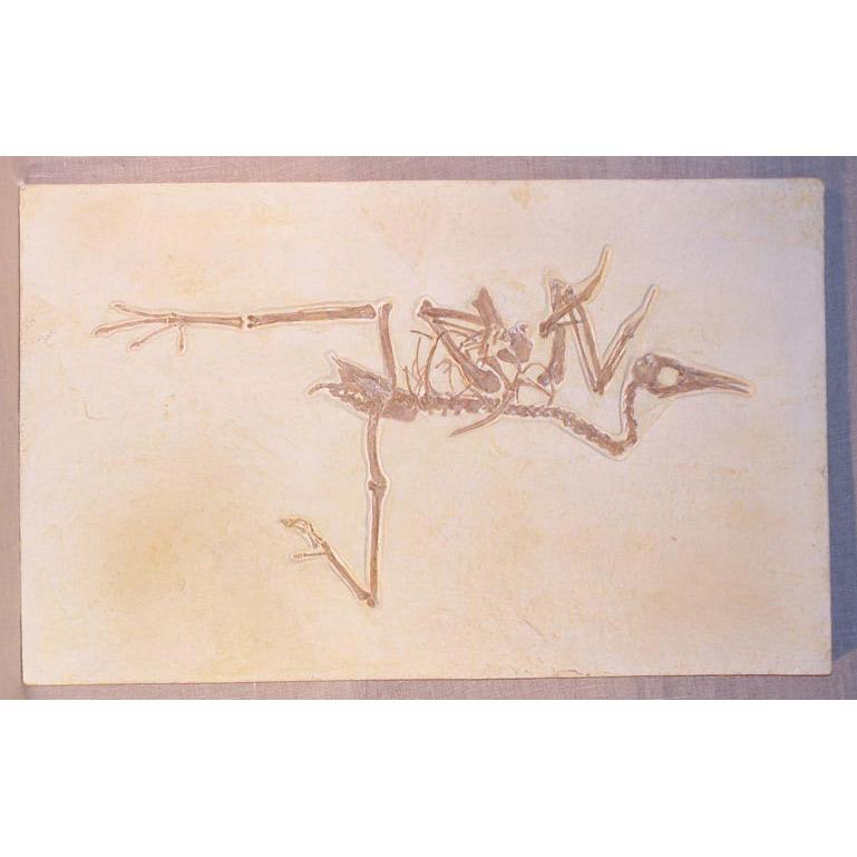 Pseudocrypturus cercanaxius