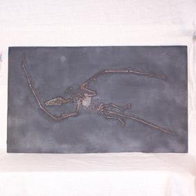 Campylognathoides liasicus