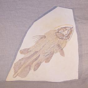 Coccoderma sp.
