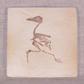 Gallinuloides wyomingensis