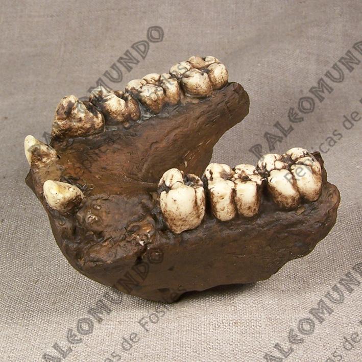 Gigantopithecus sp.