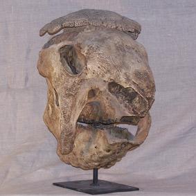 Panochthus tuberculatus
