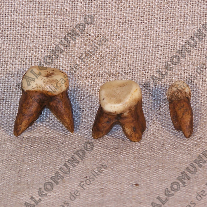 Homo erectus erectus