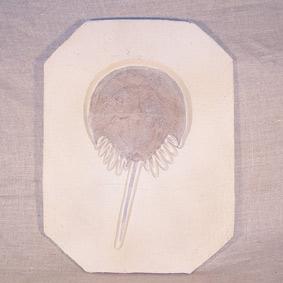 Mesolimulus walchii