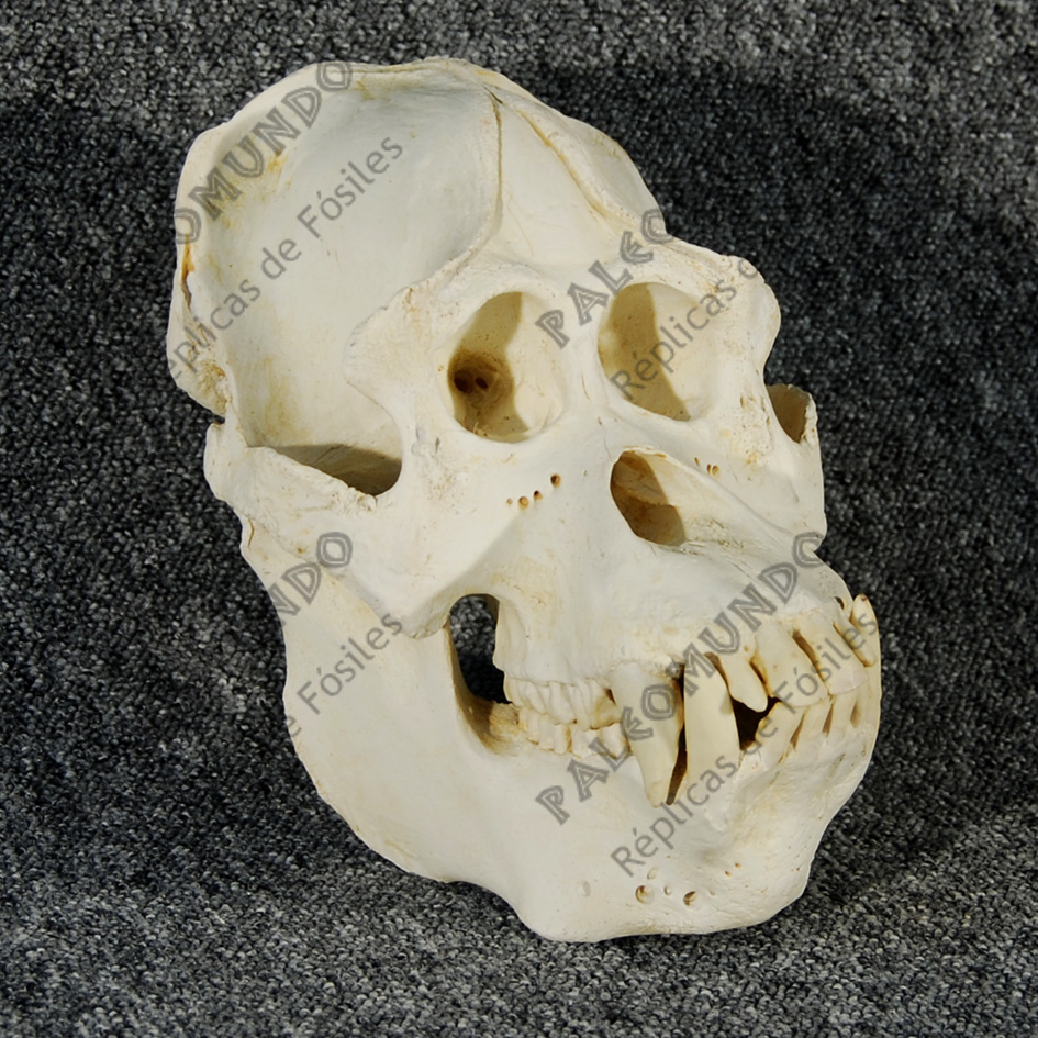 Pongo pygmaeus abelli