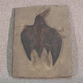 Confuciusornis sanctus