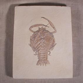 Eryon propinquus