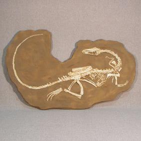 Coelophysis bauri