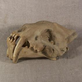Hoplophoneus primaevus