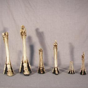 Evolución de las patas anteriores y posteriores de los équidos
