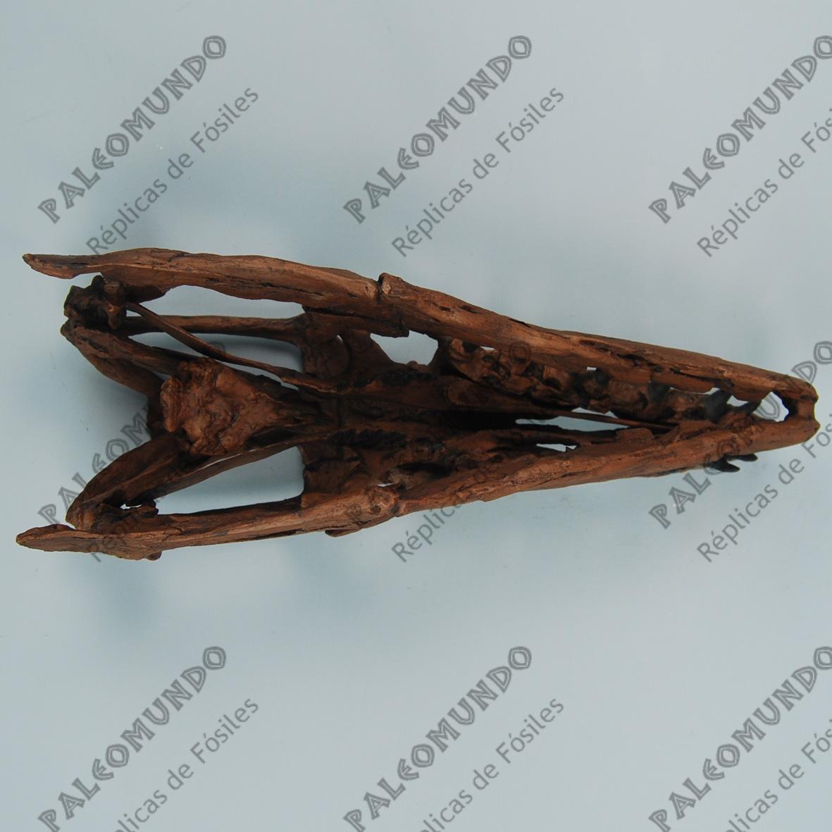Platecarpus planifrons