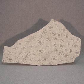 Asteroidea sp.