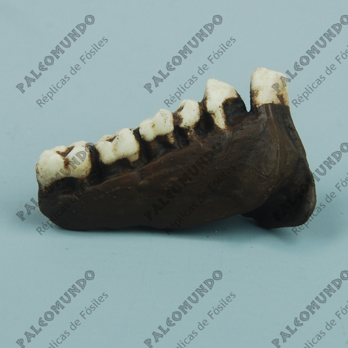 Dryopithecus cauthleyi