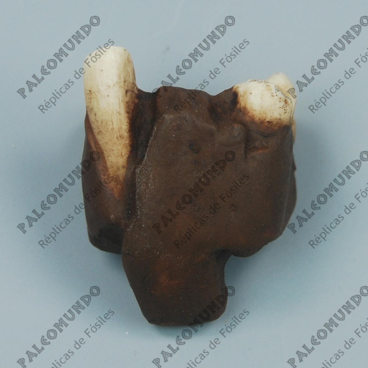Dryopithecus pilgrimi