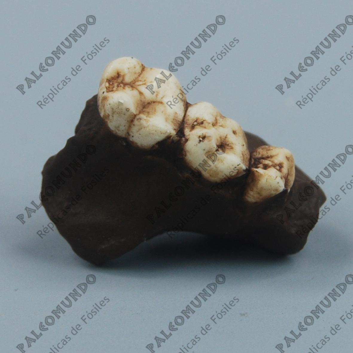 Kenyapithecus wickeri