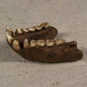Pliopithecus antiquus