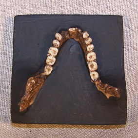 Propliopithecus haeckeli