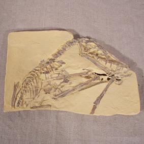Scaphognathus crassirostris