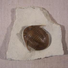Asaphus platyrus
