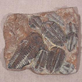 Conocoryphe sulzeri