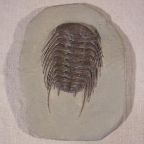 Selenopeltis buchii